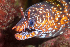 Dragon moray eel (Enchelycore pardalis) living among boulders and rock formations off the east coast of the Izu Peninsula in Japan. - Tony Wu