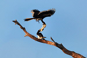 Malabar pied hornbills (Anthracoceros coronatus) pair engaged in an argument, with their beaks locked together and one bird flipping over the other, Yala National Park, Sri Lanka - Tony Wu