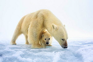 Polar bear (Ursus maritimus) female with a single young cub, only a few months old, northern Svalbard, Norway, June  -  Tony Wu