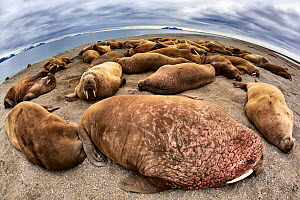 Atlantic walruses (Odobenus rosmarus rosmarus) wide angle view of large colony hauled up on a sandy beach area to rest, Svalbard, Norway, June - Tony Wu