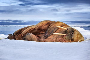 Atlantic walrus (Odobenus rosmarus) with a runny nose, sound asleep on ice floe, Svalbard, Norway, June - Tony Wu