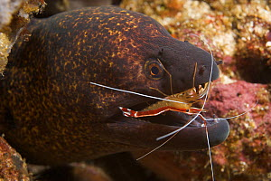 Giant moray eel (Gymnothorax javanicus) being cleaned by Scarlet cleaner shrimp (Lysmata amboinensis) Ambon, Indonesia - Tony Wu
