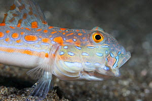Orange-dashed goby (Valenciennea puellaris) with its mouth open after spitting out a mouthful of sand as it was foraging for food, Ambon, Indonesia - Tony Wu