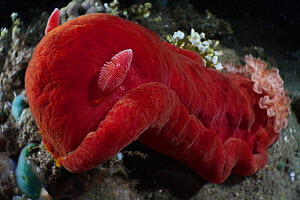 Spanish dancer nudibranch (Hexabranchus sanguineus) scavenging the reef at night in Ambon, Indonesia  -  Tony Wu