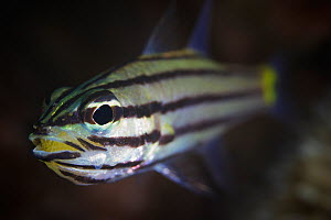 Five-lined cardinalfish (Cheilodipterus quinquelineatus) with mouthful of yellow eggs, Ambon, Indonesia - Tony Wu