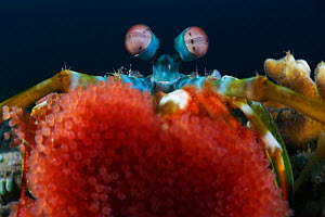 Peacock / Rainbow mantis shrimp (Odontodactylus scyllarus) resting its eggs on the camera lens, Ambon, Indonesia  -  Tony Wu