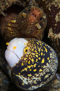 Snowflake moray eel (Echidna nebulosa) and Barredfin moray eel (Gymnothorax zonipectis) sharing a burrow, Ambon, Indonesia - Tony Wu