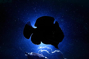 Giant frogfish (Antennarius commersoni) silhouetted against sea surface from below, Ambon, Indonesia.  -  Tony Wu