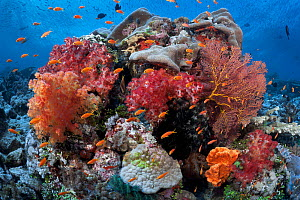 Healthy coral reef landscape, Carl's Ultimate dive site in the Eastern Fields of Papua New Guinea  -  Tony Wu