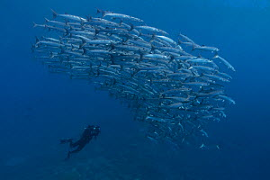 Eric Cheng photographing a large school of Chevron barracuda (Sphyraena qenie) Point P dive stie, Eastern Fields of Papua New Guinea.  -  Tony Wu