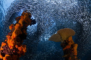 Hardyhead silversides (Atherinomorus lacunosus) swarming around the coral-encrusted remains of a portion of the jetty at Samarai Island in Milne Bay, Papua New Guinea  -  Tony Wu