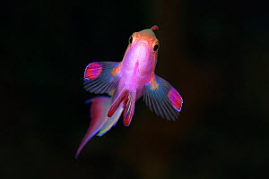 Jewel fairy basslet (Pseudanthias squamipinnis) male, Eastern Fields of Papua New Guinea  -  Tony Wu