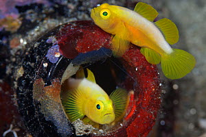 Dinah's gobies (Lubricogobius dinah) pair in their beer-bottle home, found at a depth of 30 metres at Observation Point in Milne Bay Province, Papua New Guinea - Tony Wu