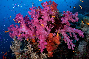 Spectacular pink and orange soft corals (Dendronephthya sp) in full bloom, surrounded by multicoloured fish, Picasso Passage, Ashmore Reef, Australia - Tony Wu