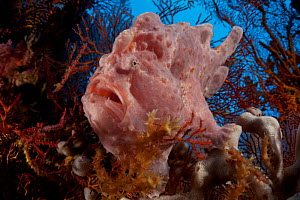 Commerson's frogfish (Antennarius commerson) sitting on a sponge concealed by sea fans, Shaw Thing, Eastern Fields of Papua New Guinea.  -  Tony Wu
