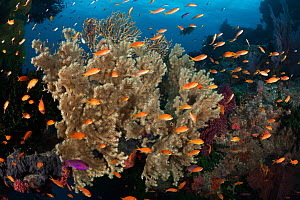 Orange basslets (Pseudanthias squamipinnis) with sea fans on top of the arch at The Doghouse dive site in Diving Dog Passage on the Barrier Reef of Papua New Guinea  -  Tony Wu