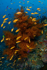 Red-tinted black coral tree (Antipathes sp.) surrounded by a school of Orange fairy basslets (Pseudanthias squamipinnis) Black and Silver dive site in the Nuakata Island area of Milne Bay, Papua New G...  -  Tony Wu