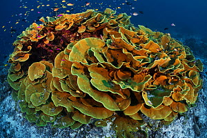 Cabbage coral (Turbinaria reniformis) surrounded by basslets, damsels and other tropical reef fish, Normanby Island in Milne Bay, Papua New Guinea - Tony Wu