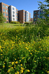 Perennial wildflower meadow including Birdsfoot trefoil (Lotus corniculatus), Oxeye daisies (Leucanthemum vulgare) and Red Clover (Trifolium pratense) to attract and support bees and other insects pla... - Nick Upton