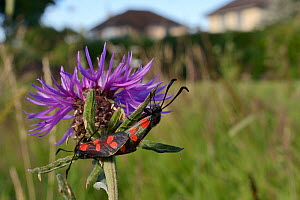 Six spot burnet moths (Zygaena filipendulae) mating on Common knapweed (Centaurea nigra) in a perennial wildflower meadow planted on an urban common by Bristol University's Urban Pollinators project,...  -  Nick Upton