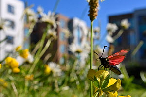Six spot Burnet moth (Zygaena filipendulae) taking off after nectaring on Birdsfoot trefoil (Lotus corniculatus) in a perennial wildflower meadow planted around university Halls of Residence by Bristo...  -  Nick Upton