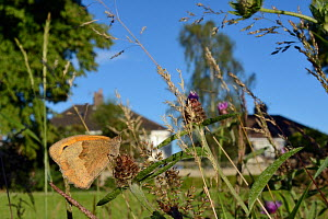 Meadow brown butterfly (Maniola jurtina) sunning on Common knapweed (Centaurea nigra) in a perennial wildflower meadow planted on an urban common by Bristol University's Urban Pollinators project, Hor... - Nick Upton
