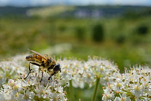 Drone fly (Eristalis sp.) nectaring on Common hogweed (Heracleum sphondylium) on hillside once used as a dumping ground, cleared of scrub to improve habitat for bees and other pollinators for Buglife'...  -  Nick Upton