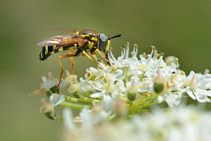 Wasp-mimicking Hoverfly (Chrysotoxum festivum) nectaring on Common hogweed (Heracleum sphondylium) on hillside once used as a dumping ground, cleared of scrub to improve habitat for bees and other pol...  -  Nick Upton