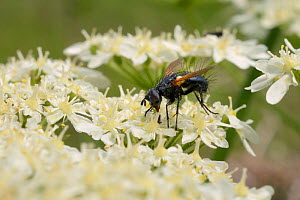 Parasite fly / Tachinid fly (Zophomyia temula), a nationally scarce species, feeding on Common hogweed (Heracleum sphondylium) on grassland meadow cleared of scrub to improve the habitat for bees and...  -  Nick Upton