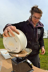 Rosie Maple of Avon Wildlife Trust weighing a batch of wildflower seed mix to be sown on ploughed farmland grassland for Buglife / AWT's West of England B-Lines project, Newton St. Loe, Bath and north...  -  Nick Upton