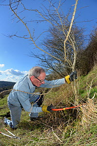 Volunteer improving habitat for bees and other pollinators by using a saw to clear scrub from grassland hillside in St. Catherine's Valley near Bath for Buglife / Avon Wildlife Trust's West of England... - Nick Upton