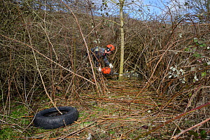 Green Mantle Ltd. contractor using a chainsaw to clear scrub and young trees from hillside once used as a dumping ground to improve habitat for bees and other pollinators for Buglife / Avon Wildlife T... - Nick Upton