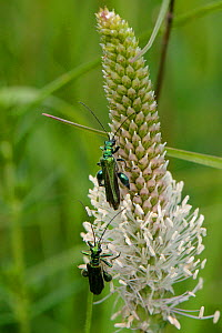 Two Swollen thighed  / Thick-legged flower beetle (Oedemera nobilis) males feeding on Hoary plantain (Plantago media) pollen on grassland meadow cleared of scrub to improve the habitat for bees and ot... - Nick Upton