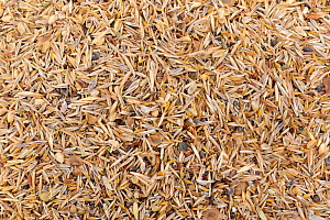 Wildflower and grass seed mix for sowing by volunteers on ploughed farmland grassland for Buglife / Avon Wildlife Trust's West of England B-Lines project, Newton St. Loe, Bath and northeast Somerset,...  -  Nick Upton