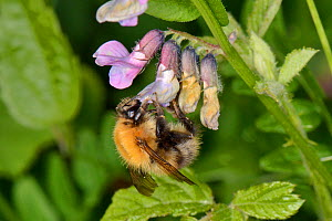 Common carder bumblebee (Bombus pascuorum) nectaring on Bush vetch (Vicia sepium) flowers on the edge of a grassland meadow cleared of scrub to improve the habitat for bees and other pollinators for B...  -  Nick Upton