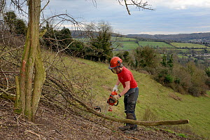 Green Mantle Ltd. contractor using a chainsaw to clear encroaching trees from a grassland hillside to improve habitat for bees and other pollinators for Buglife / Avon Wildlife Trust's West of England...  -  Nick Upton