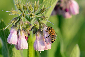Honey bee (Apis mellifera) nectaring by inserting its proboscis through a hole it ahs chewed inthe base of a Common comfrey flower (Symphytum officinale) in a patch planted by the Bumblebee Conservati... - Nick Upton
