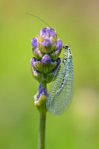 Common green lacewing (Chrysoperla carnea) foraging on Lavender flowerbuds in a garden planted with flowers to attract pollinators, Watch Tower B&B, Dungeness, Kent, UK.  -  Nick Upton