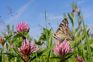Painted lady butterfly (Vanessa cardui) nectars on Red clover flowers (Trifolium pratense) in a conservation headland flower strip bordering an arable field, Romney Marshes, Suffolk, UK, June. - Nick Upton