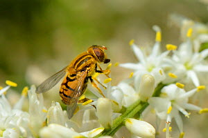 Hoverfly (Parhelophilus versicolor) feeding on a flowering Cabbage tree / Torquay palm (Cordyline australis) in a garden planted with flowers to attract pollinators, Watch Tower B&B, Dungeness, Kent,...  -  Nick Upton