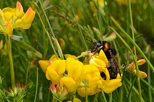 Short-haired bumblebee queen (Bombus subterraneus) collected in Sweden necataring on Birdsfoot trefoil flowers (Lotus corniculatus) with its long tongue after release during a UK reintroduction projec... - Nick Upton