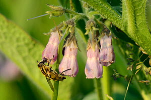 Sunfly (Helophilus trivittatus) nectaring on Common comfrey flowers (Symphytum officinale) in a patch planted by the Bumblebee Conservation Trust on farmland, Romney Marshes, Suffolk, UK, June. - Nick Upton