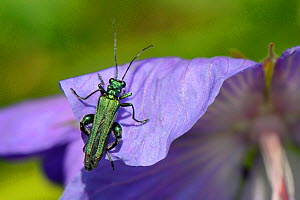Male Thick-legged / Swollen-thighed flower beetle (Oedemera nobilis) sunning on Cranesbill petal in a garden planted with flowers to attract pollinators, Watch Tower B&B, Dungeness, Kent, UK. - Nick Upton