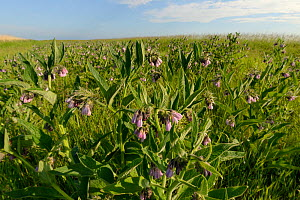 Common comfrey (Symphytum officinale) flower patch planted by the Bumblee Conservation Trust on farmland to provide food for pollinators, Romney Marshes, Suffolk, UK, June. - Nick Upton