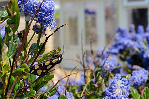 Cream-spot tiger moth (Arctia villica) resting in a Ceanothus bush in a garden planted with flowers to attract pollinators,  Dungeness, Kent, UK. - Nick Upton