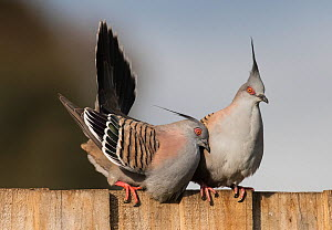 Crested pigeon (Ocyphaps lophotes). male courting female on a garden fence. Werribee, Victoria, Australia.  -  Roger Powell