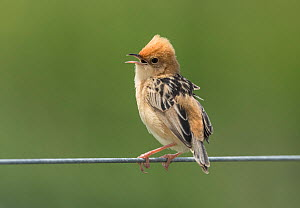 Golden-headed cisticola (Cisticola exilis) singing over its breeding territory from a wire fence. Werribee, Victoria, Australia  -  Roger Powell