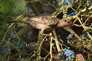 Great bowerbird (Chlamydera nuchalis) collecting bright red berries to decorate its bower with. Mary River, Northern Territory, Australia  -  Roger Powell