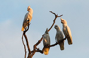 Four little corellas (Cacatua sanguinea) gathering on a branch before flying to their roost. Mary River, Northern Territory, australia,  -  Roger Powell