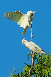 Little corella (Cacatua sanguinea) male displaying to female from the top of a tree. Mary River Park, Northern Territory, Australia,  -  Roger Powell